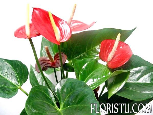 Цветы спатифиллум фото
