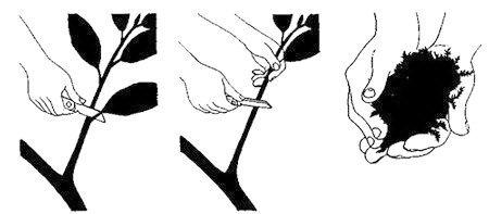 Размножение фикуса - фото
