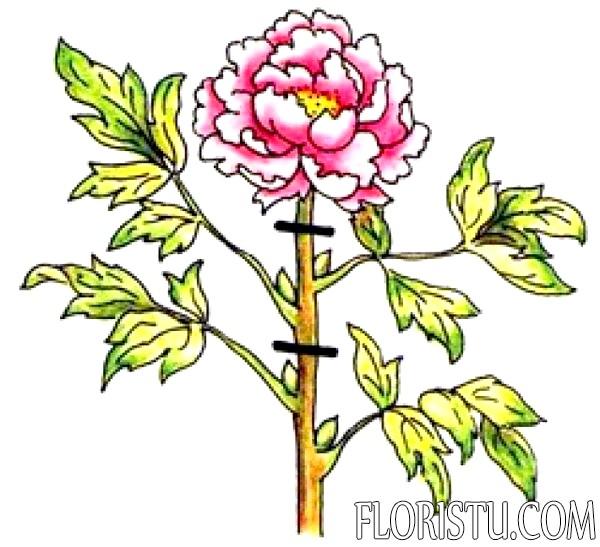 Когда обрезать пионы после цветения?