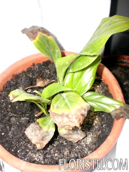 Спатифиллум: сохнут кончики листьев