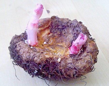 Размножение бегонии - фото