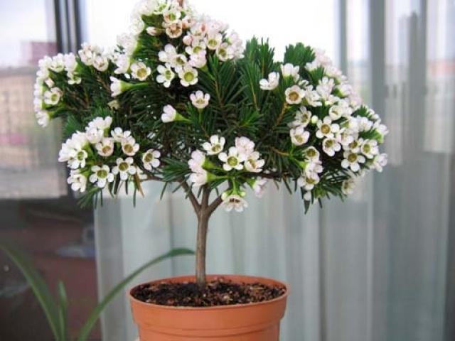 комнатные цветы мирт фото