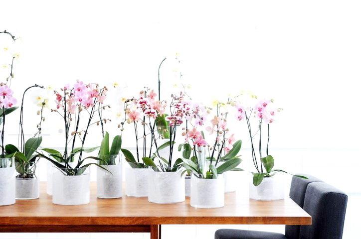 Орхидея фаленопсис уход в домашних условиях почему не цветет