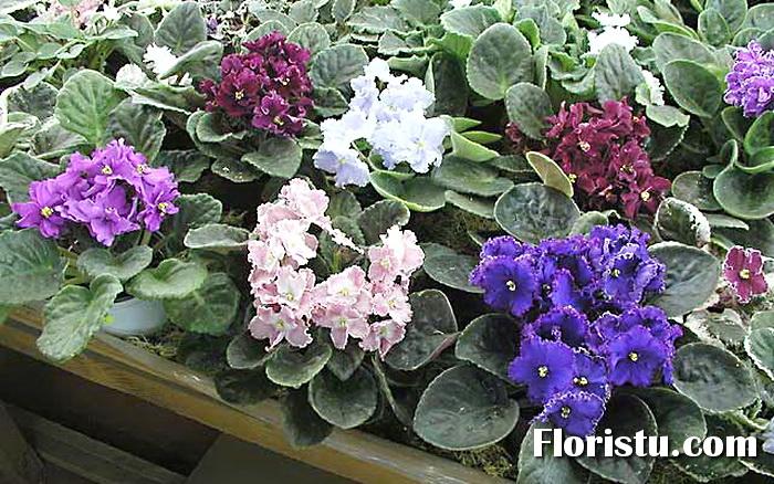 цветы цикламен уход пересадка фото