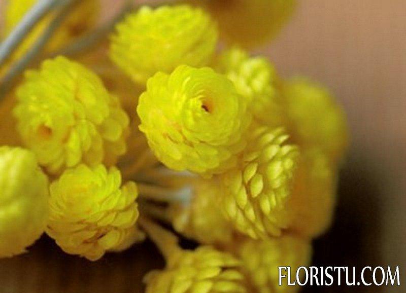 Цветы бессмертника полезные свойства и противопоказания