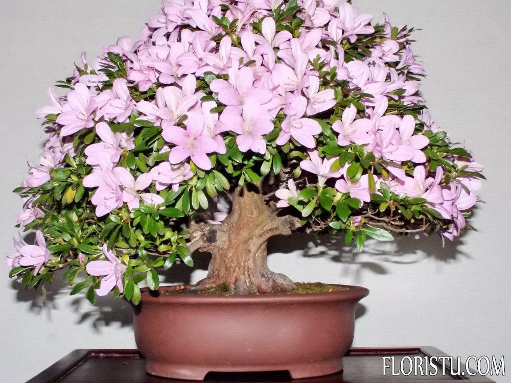 Цветок азалия фото и уход в домашних условиях 67