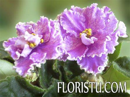 8 причин почему не цветут комнатные фиалки